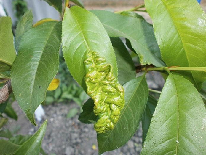 Курчавость листьев сливы